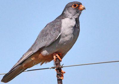 Amur Falcon / Oostelike Rooipootvalk