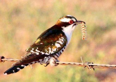 Diederik Cuckoo / Diederik