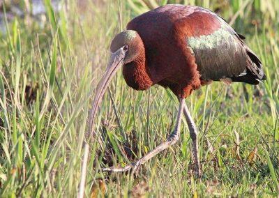 Glossy Ibis / Glansibis