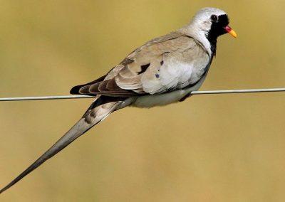 Namaqua dove / Namakwaduif